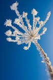 A Flower Umbel Covered with Ice Crystals Photographic Print by Patrick Peul