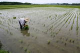Japan Rice Planting Photographic Print by Everett Kennedy