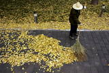 A Chinese Worker Sweeps Up Bright Yellow Leaves of Deciduous Trees That Have Collected at a Park Photographic Print by Michael Reynolds