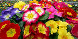 Blooming Primroses Photographic Print by Patrick Peul