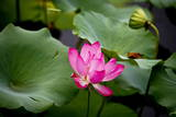 A Pink Lotus Flower Is Seen on a Pond at the Old Summer Palace Photographic Print by Diego Azubel