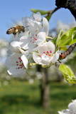 A Bee Inspects a Pear Trees in Full Bloom Photographic Print by Gyoergy Varga