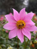 A Bee Sits on a Full Bloomed Cosmos Flower at a Public Garden in New Delhi Photographic Print by Harish Tyagi
