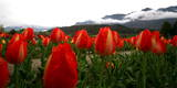A View of Tulips in Full Bloom in the Tulip Garden Photographic Print by Farooq Khan