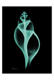 Tulip Shell Print by Albert Koetsier