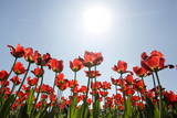 Tulips are Seen Against the Sun Photographic Print by Tatyana Zenkovich