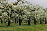 Pear Trees in Full Bloom in Zalasarszeg Photographic Print by Gyoergy Varga