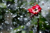 Miniature Roses are Sprayed with Water Photographic Print by Diego Azubel