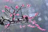 Plum Blossoms in the Rain on the Grounds of Hongu Grand Shrine in Hongu Village Photographic Print by Everett Kennedy