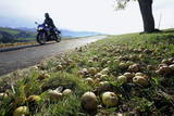 A Motorcyclist Drives Past a Meadow with Fallen Apples Photographic Print by Lukas Lehmann