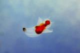 A 'Sea Angel', Swims in the Water of a Tank at the Shinagawa Aquarium in Tokyo, Japan Photographic Print by Kimimasa Mayama