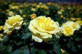 Yellow Hybrid Tea Roses Reproduction photographique par Diego Azubel