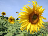Bees Flys over a Sunflower in a Sunflower Field in Lopburi Province Photographic Print by Narong Sangnak
