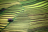 Terraced Fields During the Rice Harvest Season in Northwestern Vietnam Photographic Print