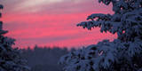 The Crimson Red Sky Is Pictured Through Snow-Covered Foliage Photographic Print by Jeffrey Phelps