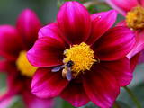 Red Cosmos Flower Full Bloom at a Public Garden in New Delhi Photographic Print by Harish Tyagi
