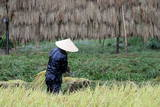 A Japanese Farmer Harvests Rice Photographic Print by Everett Kennedy
