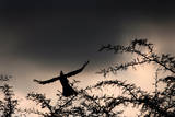 A Grey Tauraco Taking Off from a Thorn Tree During a Rainstorm in Johannesburg, South Africa Photographic Print by Jon Hrusa