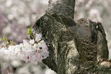 A Dove Sits on its Nest in a Cherry Tree Photographic Print by Stefan Zaklin