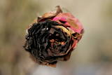 A Charred Rose Is Seen Near Homes Destroyed by a Wildfire in Rancho Bernardo Photographic Print by Stefan Zaklin