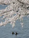 Ducks Swim under Cherry Blossoms Photographic Print by Stefan Zaklin