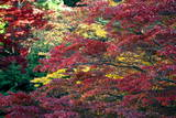 Trees Putting on Autumn Colors in Hakone Town Photographic Print by Dai Kurokawa