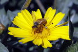 A Honey Bee Collects Pollen on a Wild Flower on a Farm Photographic Print by Jamal Nasrallah