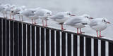 Seagulls Stand in Single File Along a Handrail at the Historic Harbour in Berlin Photographic Print by Tobias Kleinschmitt