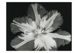 Big Blossom II Prints by Albert Koetsier