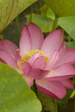 Lotus Blossom on Display at a Traditional Lotus Viewing Party in Hayama City Photographic Print by Everett Kennedy