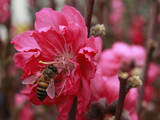 A Bee Is Flying over a Peach Blossom for Sale at a Lunar New Year Fair in Hong Kong Photographic Print by Ym Yik