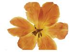 Gold Tulip Blossom Poster di Albert Koetsier