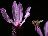 An African Honeybee Flies to Collect Nectar from Lavender Flowers in Johannesburg Photographic Print by Jon Hrusa