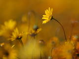 Wild Daisy Flowers in a Field Photographic Print by Nic Bothma
