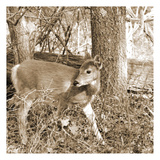 Fawn Prints by Suzanne Foschino