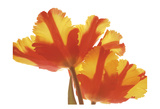 Hot Tulip Prints by Albert Koetsier