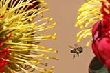 A Bee Hovers around Indigenous Fynbos Protea Flowers for Sale on a Roadside in Cape Town Photographic Print by Nic Bothma
