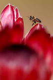 A Bee Hovers over Indigenous Fynbos Protea Flowers for Sale on a Roadside in Cape Town Photographic Print by Nic Bothma