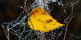 View of a Yellow Birch Leaf in a Spider's Web with Water Droplets Photographic Print by Patrick Peul