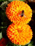 A Bubble Bee Feeds on a Spring Flower Photographic Print by Orestis Panagiotou