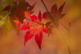 Japanese Maple Leaves Illuminated in Sunlight Photographic Print by Everett Kennedy