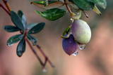 Raindrops Hang on Olives at the Jordanian City of Ajloun Photographic Print by Jamal Nasrallah