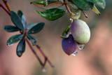 Raindrops Hang on Olives at the Jordanian City of Ajloun Photographic Print by Jamal Nasrallah