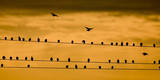 Starlings Photographic Print by Patrick Peul
