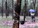 Rubber Tree Photographic Print