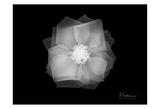 Rose 2 Prints by Albert Koetsier