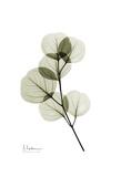 Albert Koetsier - Eucalyptus Obrazy