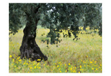 Olive Trees Prints by Michael Banks