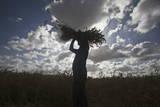 Wheat Harvesting in Gaza Photographic Print by Ali Ali