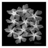 Oleander X-Ray Prints by Albert Koetsier